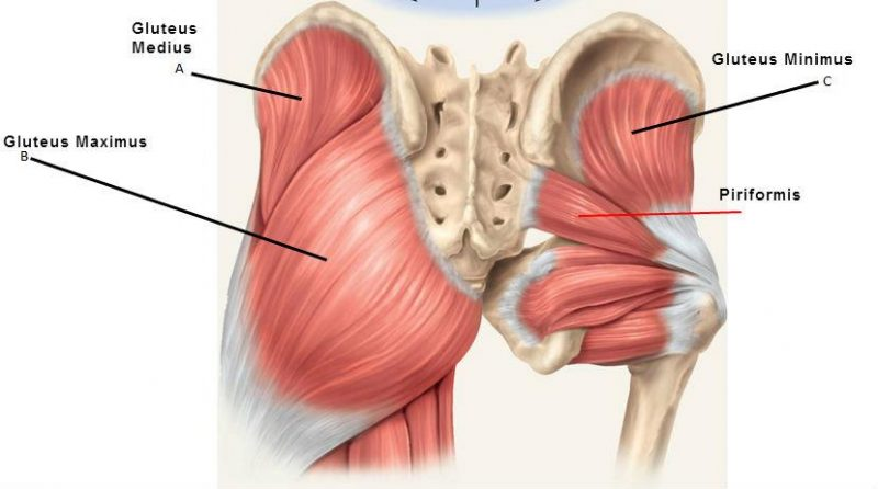 posterior-hip-muscles-800x446